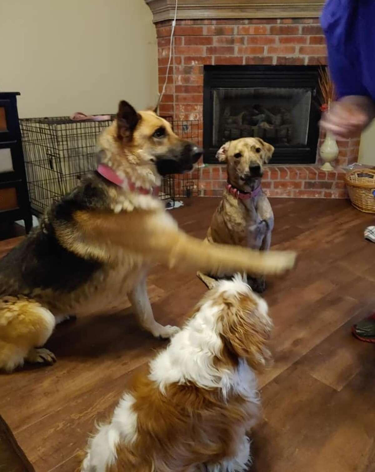 Luna Rose plays happily with other pups in the Oklahoma City rescuer's home.