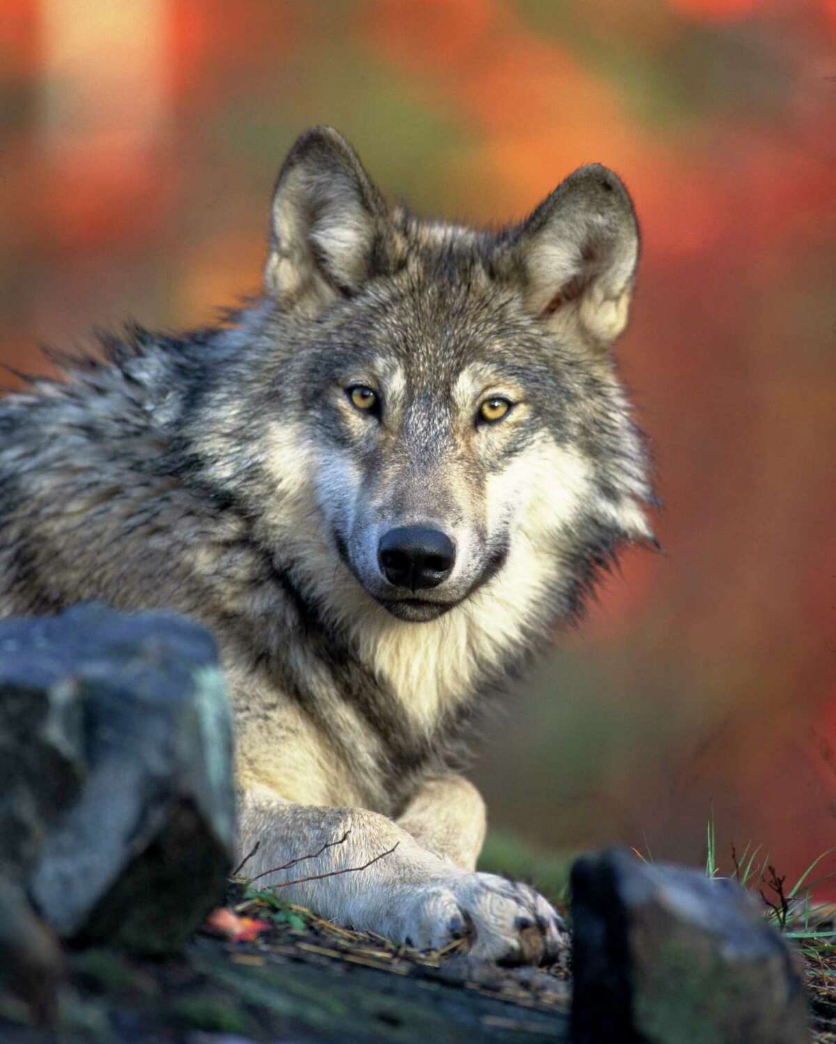 About 4,000 gray wolves are in Michigan, Wisconsin and Minnesota. (Photo/Gary Kramer, U.S. Fish & Wildlife Service)