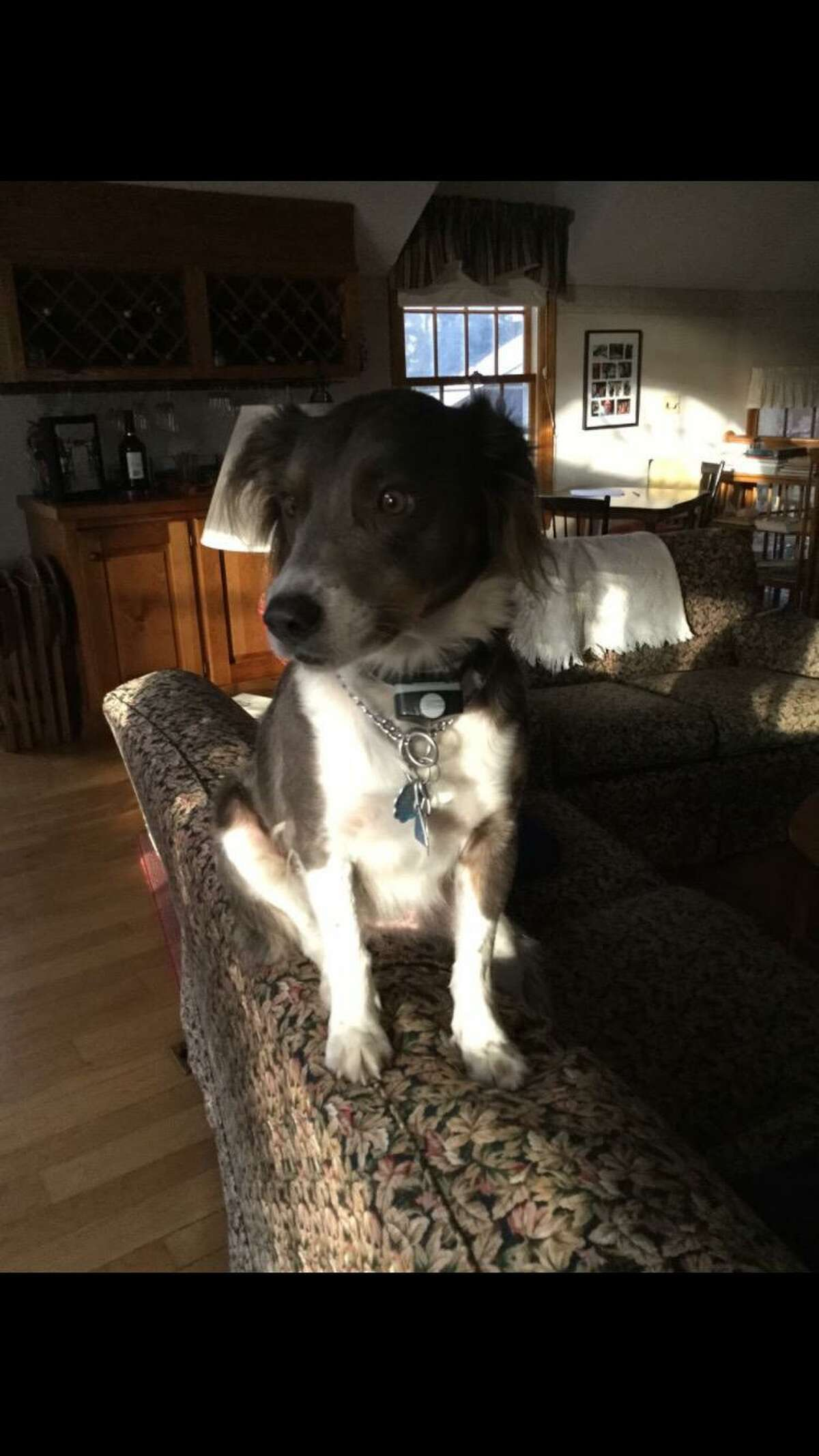 A 25-pound Australian shepherd mix named Everett has gone missing in the vicinity of Deer Run Road and Spectacle Lane. If anyone sees him, they are asked to call his family.