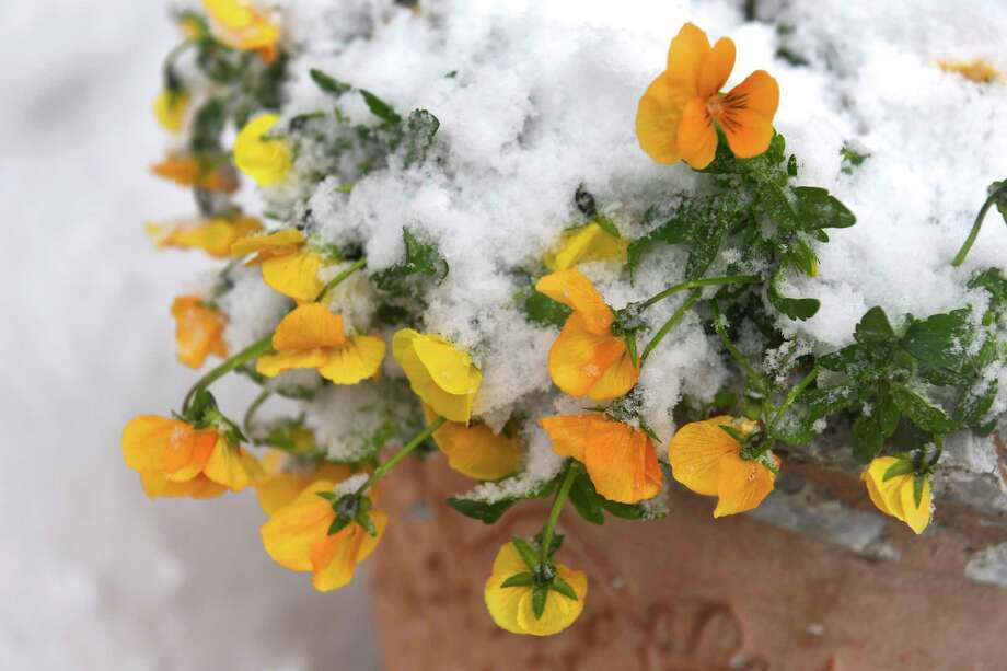 Potted pansies wilt under a blanket of snow March 14, 2017, in Frederick, Maryland. (Photo by Katherine Frey/The Washington Post via Getty Images) / 2017 The Washington Post