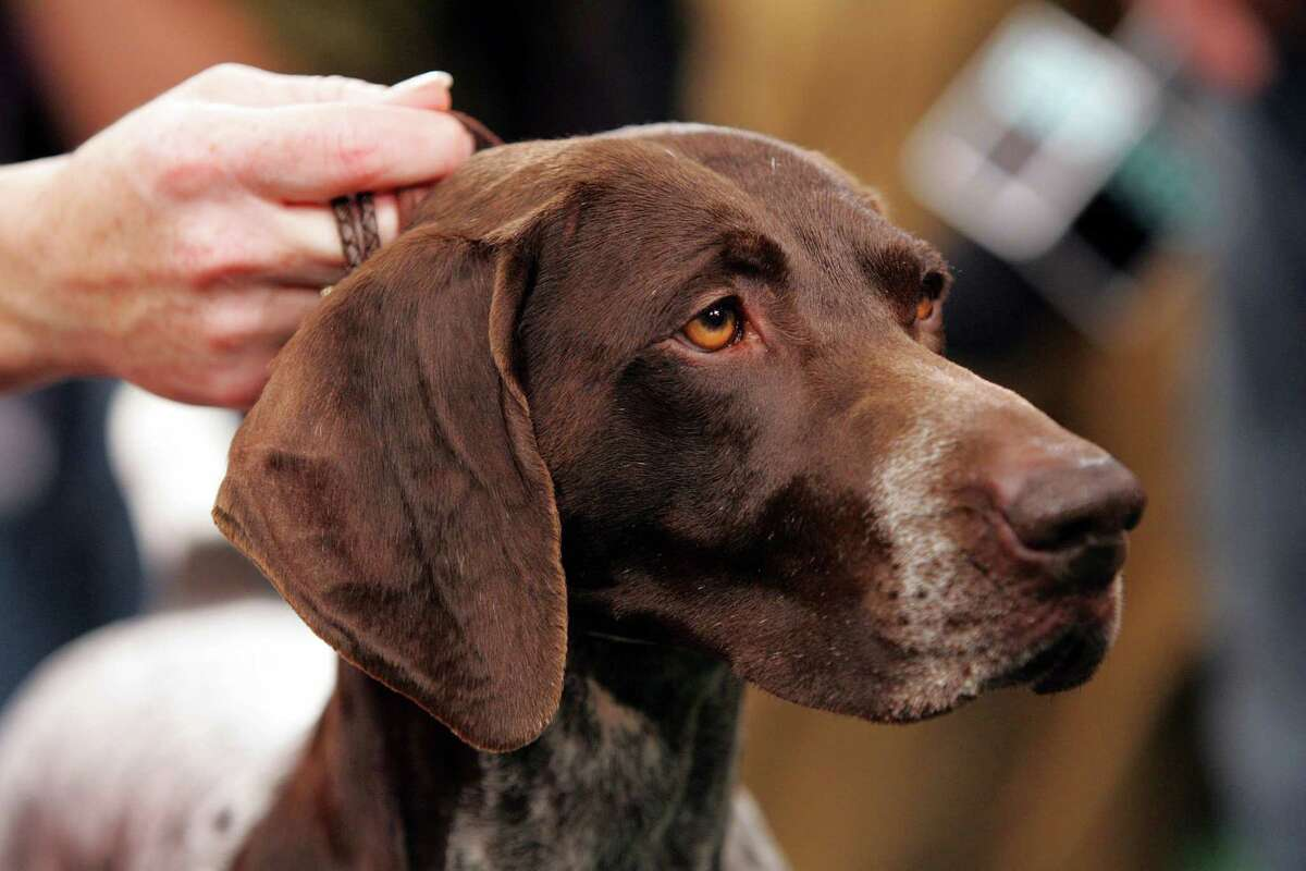 German shorthaired pointers make for great hunting dogs.