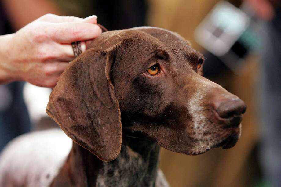 German shorthaired pointers make for great hunting dogs. Photo: FRANK FRANKLIN II, Staff / Associated Press / AP