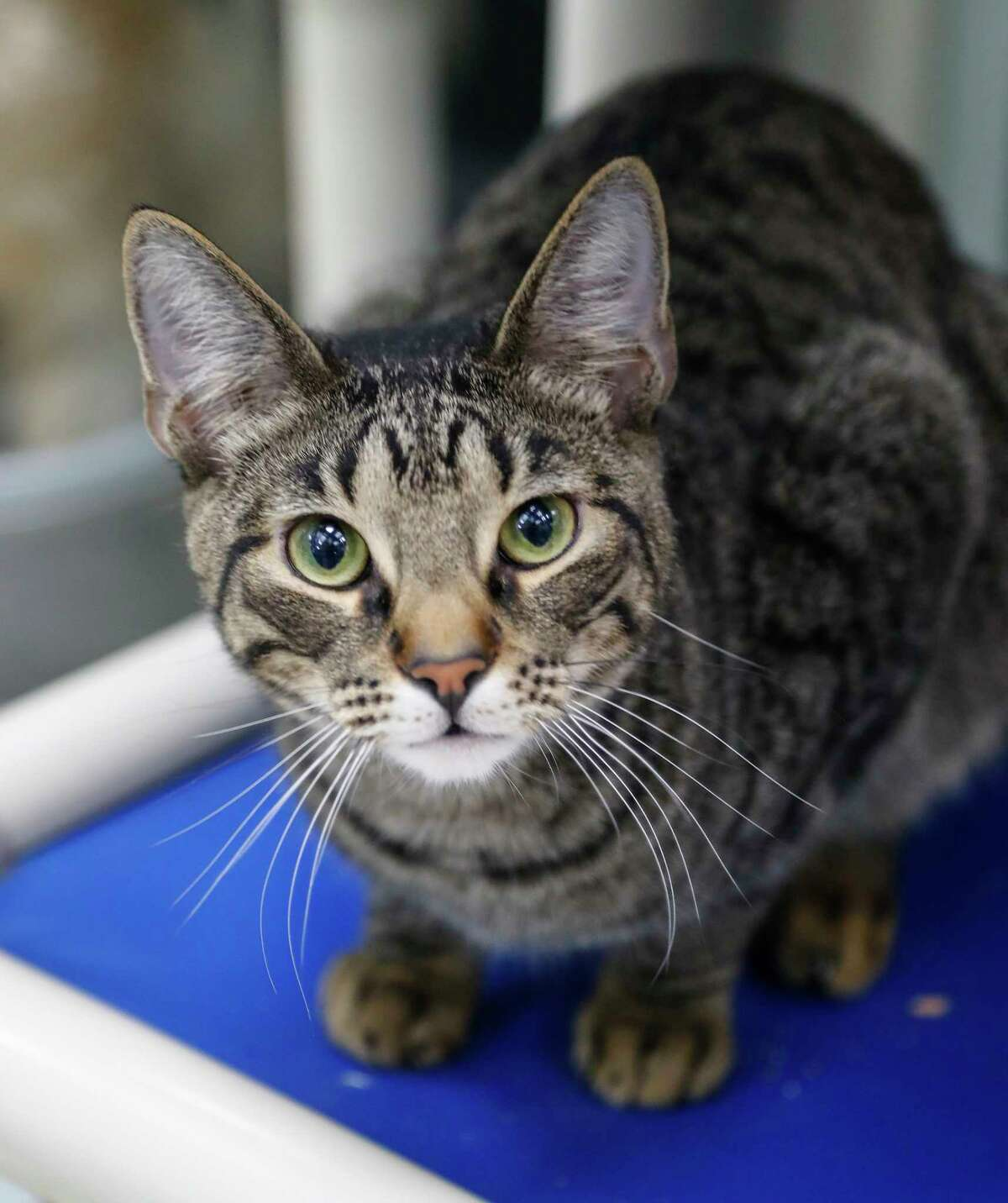 Tony (ID: 45424400 ) is a 8-month-old, male, brown tabby Domestic Shorthair cat who is available for adoption from the Houston Humane Society. Tony came to Houston as a transfer from Louisiana, as a Hurricane Laura survivor. His favorite toy is anything with a feather on it, and gets along with other cats. He is also described by the staff as an expert fly catcher!