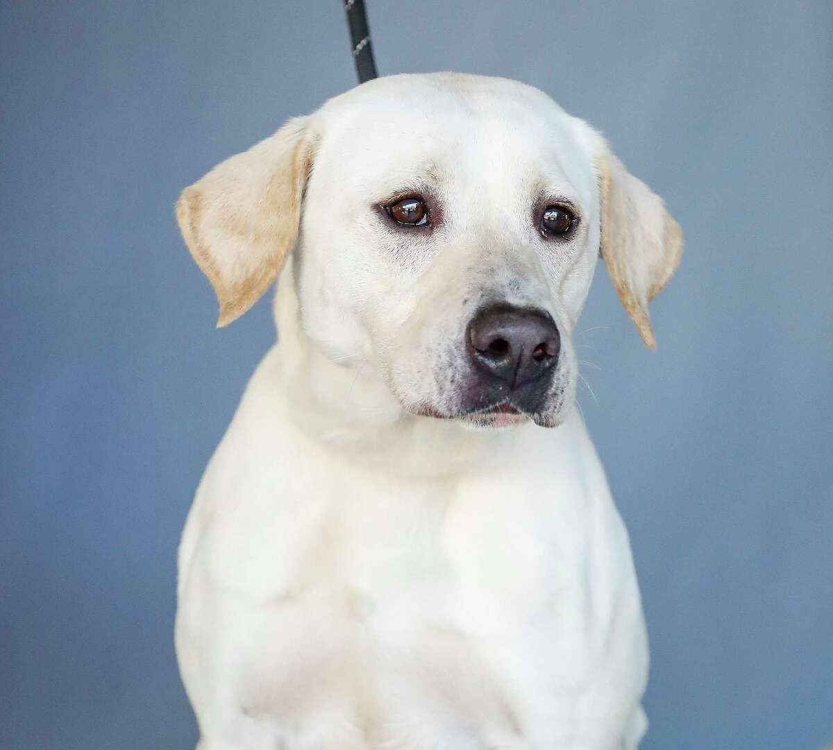 Almighty (ID: 45635374 ) is a 2-year-old, male, yellow Labrador Retriever mix who is available for adoption from the Houston Humane Society. Almighty is heartworm positive, but his treatment would be free because it is sponsored. Staff writes,
