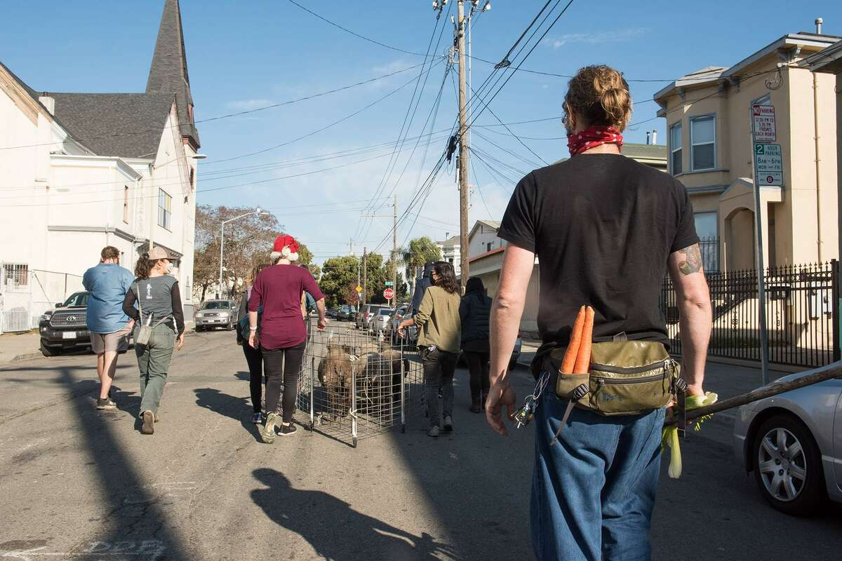 Dan Gottwald carries celery stalks and carrots for the sheep as he follows the herd through the streets of Oakland.