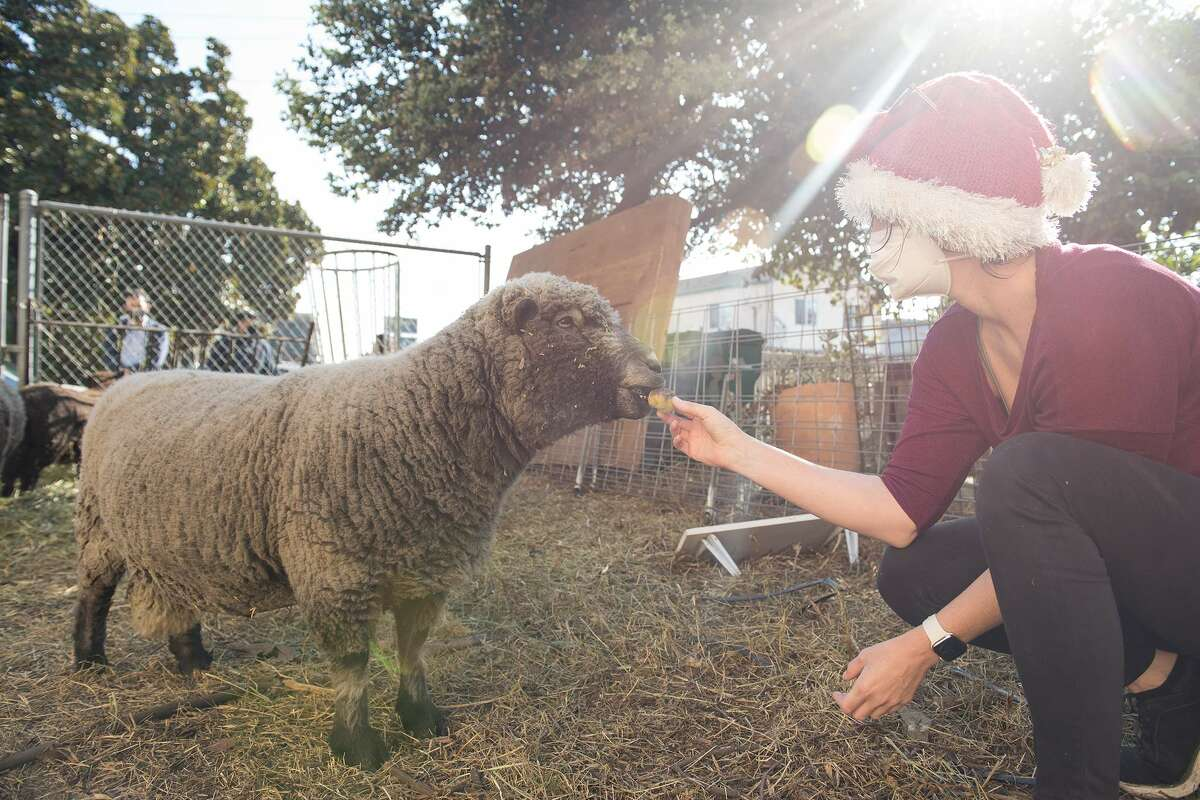 Amanda Bittaker happily greets one of the sheep before assisting in their transport.