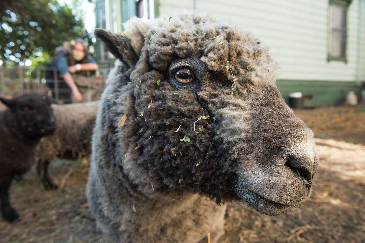 From sheep to raccoons, animals kept us entertained with their antics this year.