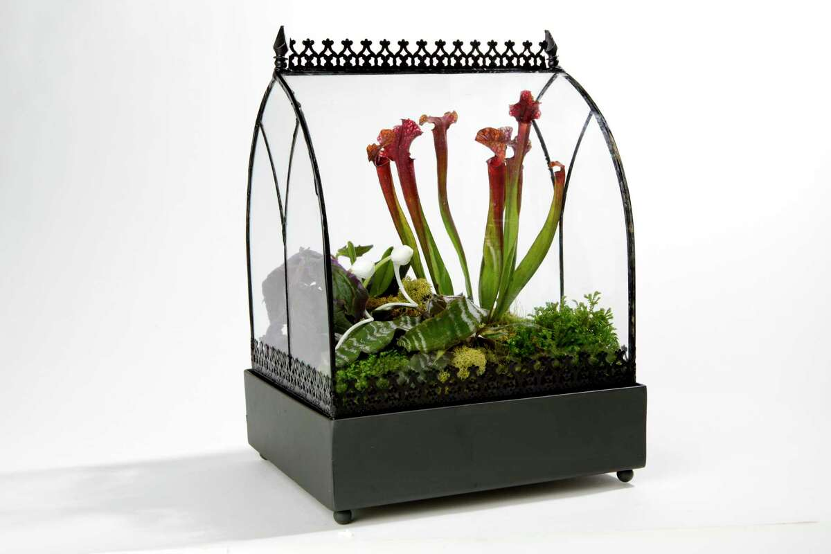 This Wardian case is filled with humidity-loving specimens, including gynura (small fuzzy purple houseplant); sarracenia (carniverous pitcher plant); orchid