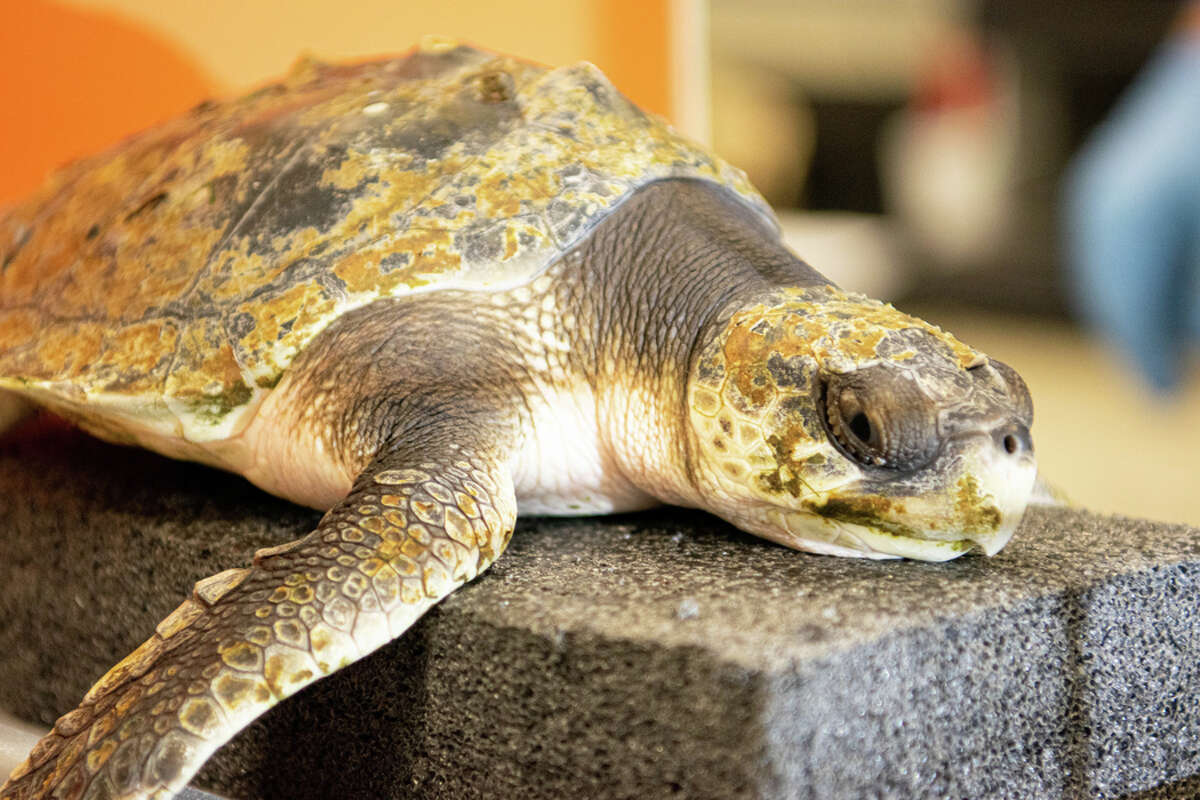 The sea turtles have pneumonia, other medical conditions, or injuries from being washed against rocks.