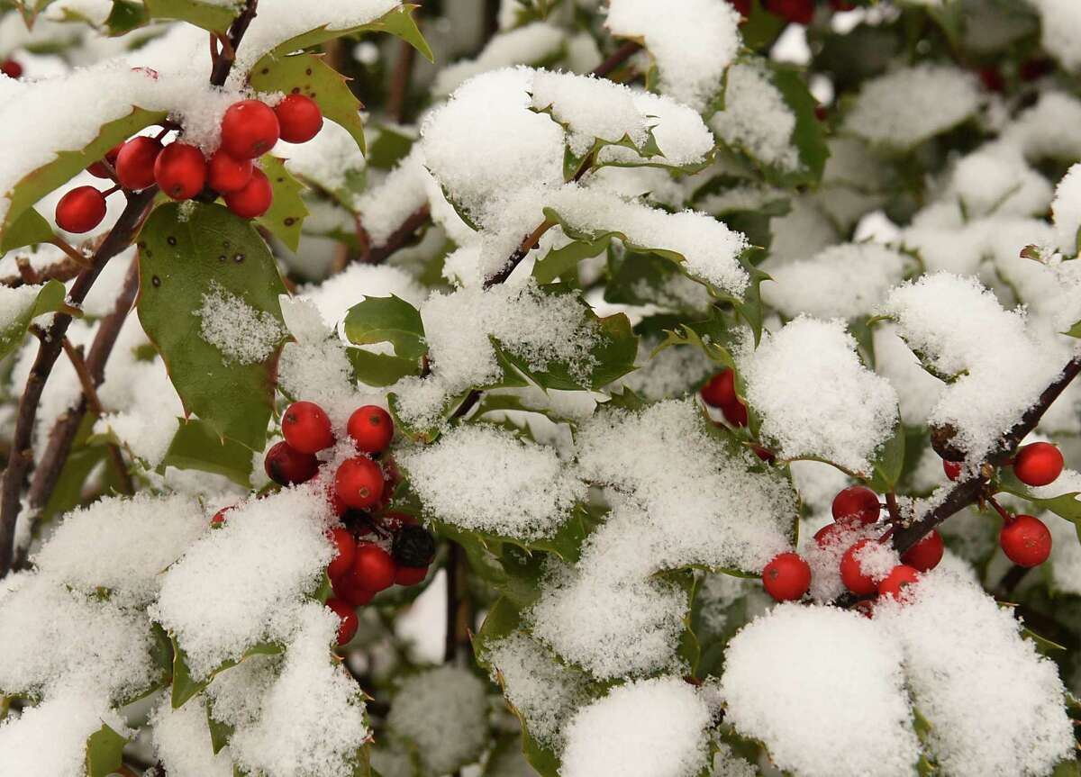 Freshly fallen snow covers the leaves on a bush on Wednesday, Dec. 9, 2020 in Loudonville, N.Y. (Lori Van Buren/Times Union)