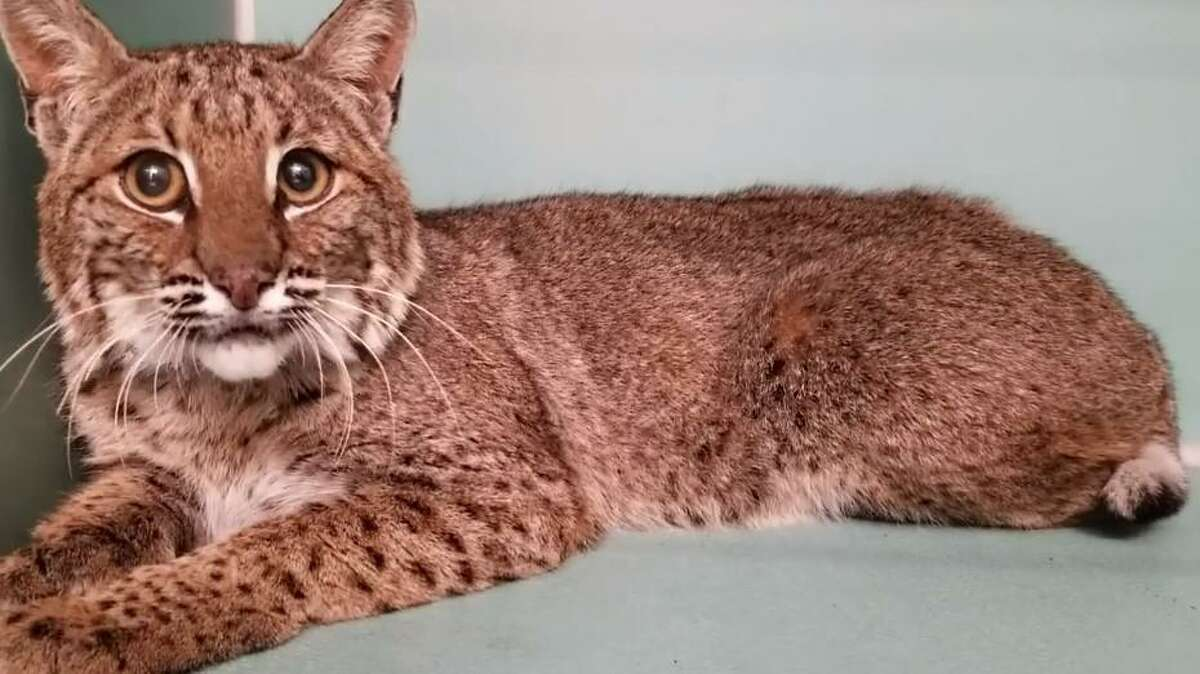This bobcat was allegedly trapped and starved by Jovidon Sorbon, who then attempted to sell the animal on Craigslist.
