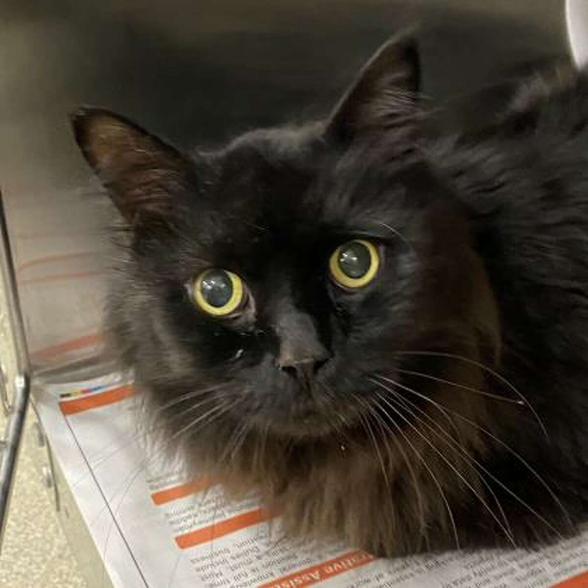 Avenue is a 5-year-old male domestic longhair mix.