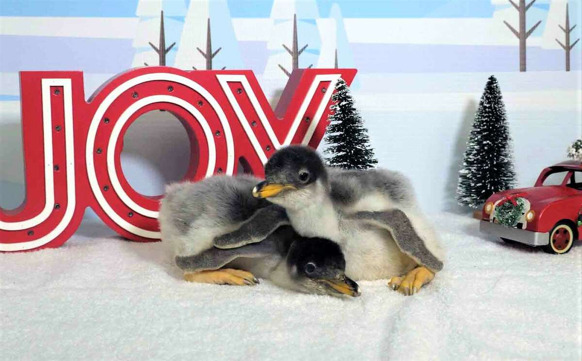 Moody Gardens has welcomed a duo of Gentoo penguin chicks.