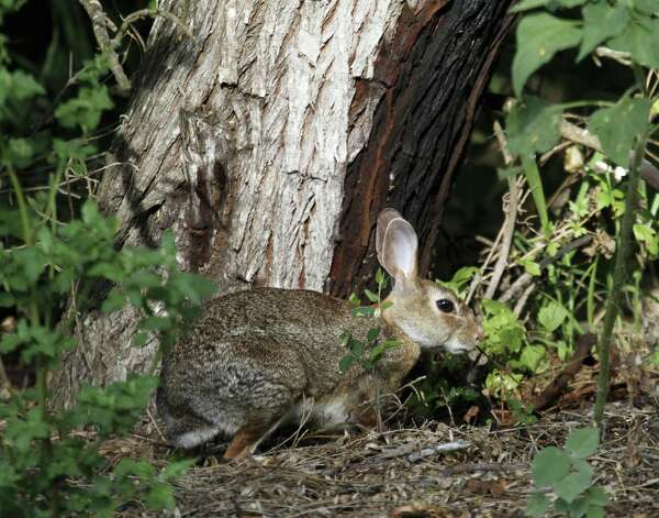 Wild rabbit  During the spring and summer, rabbits are seeneating flowers or vegetables. They are most active during the night, dusk and dawn.   An effective way toavoid rabbits in your garden is to install a fence since they generally don't climb.  Photo: Staff File Photo