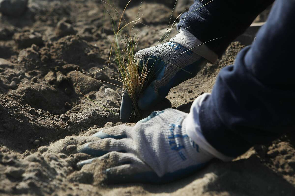 Technician Moses Alvarez places containers of native marsh grasses to be planted while working at Quartermaster Reach on Wednesday, December 9, 2020 in San Francisco, Calif.