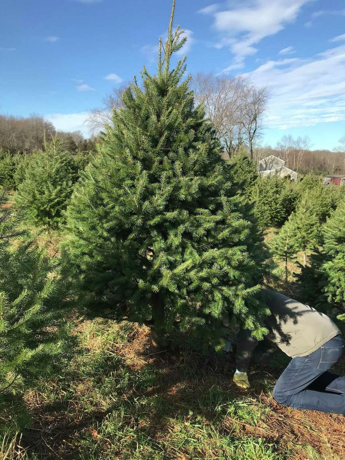 Tree farms like Maple Row said they've experienced an early rush as customers are eager to decorate their homes this year.