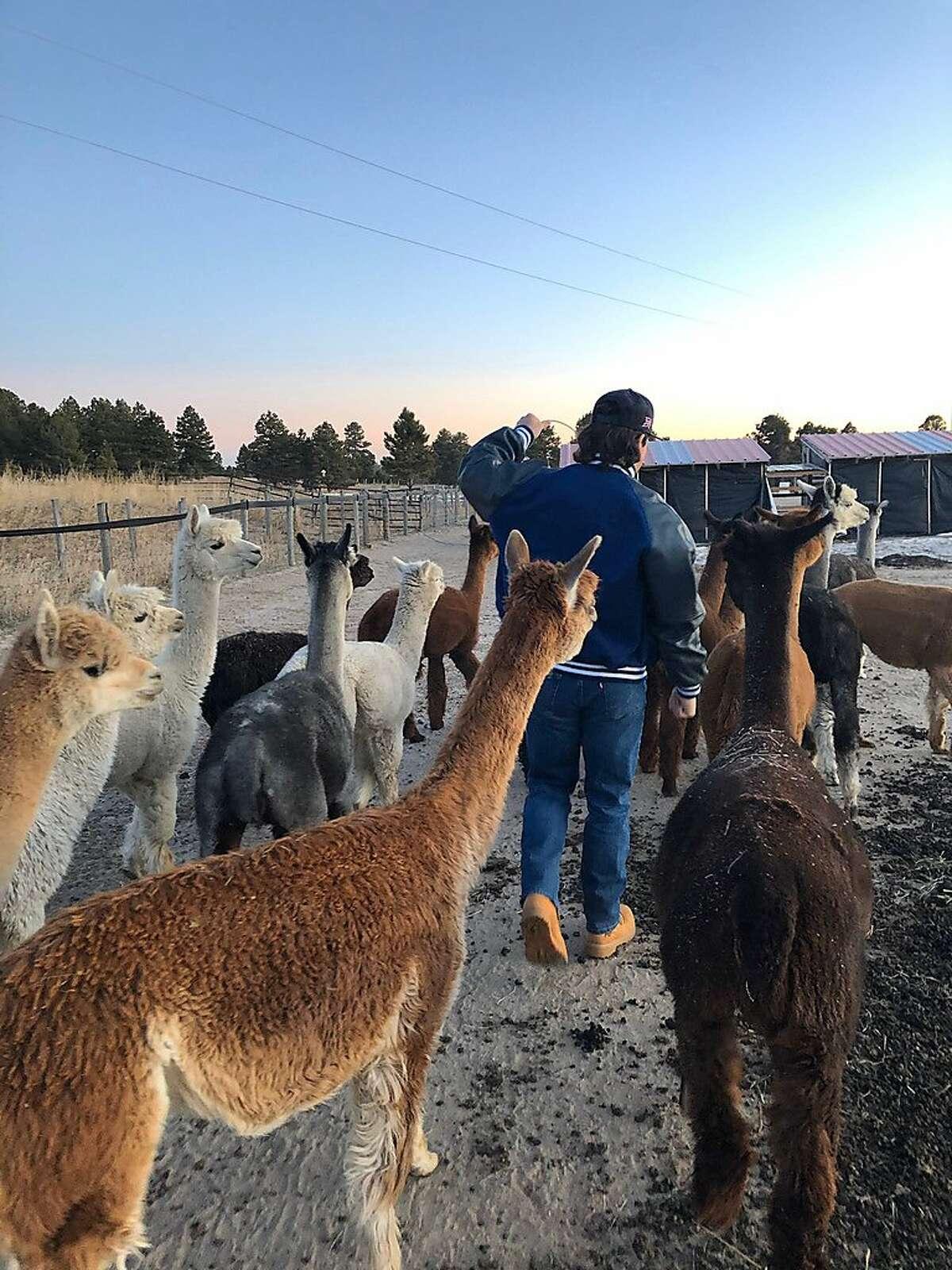 Drew Schlegel chases alpacas on shearing day at Cloverleaf Farm in Elizabeth, Colo. The Cal fullback has a retirement plan that includes farming alpacas.