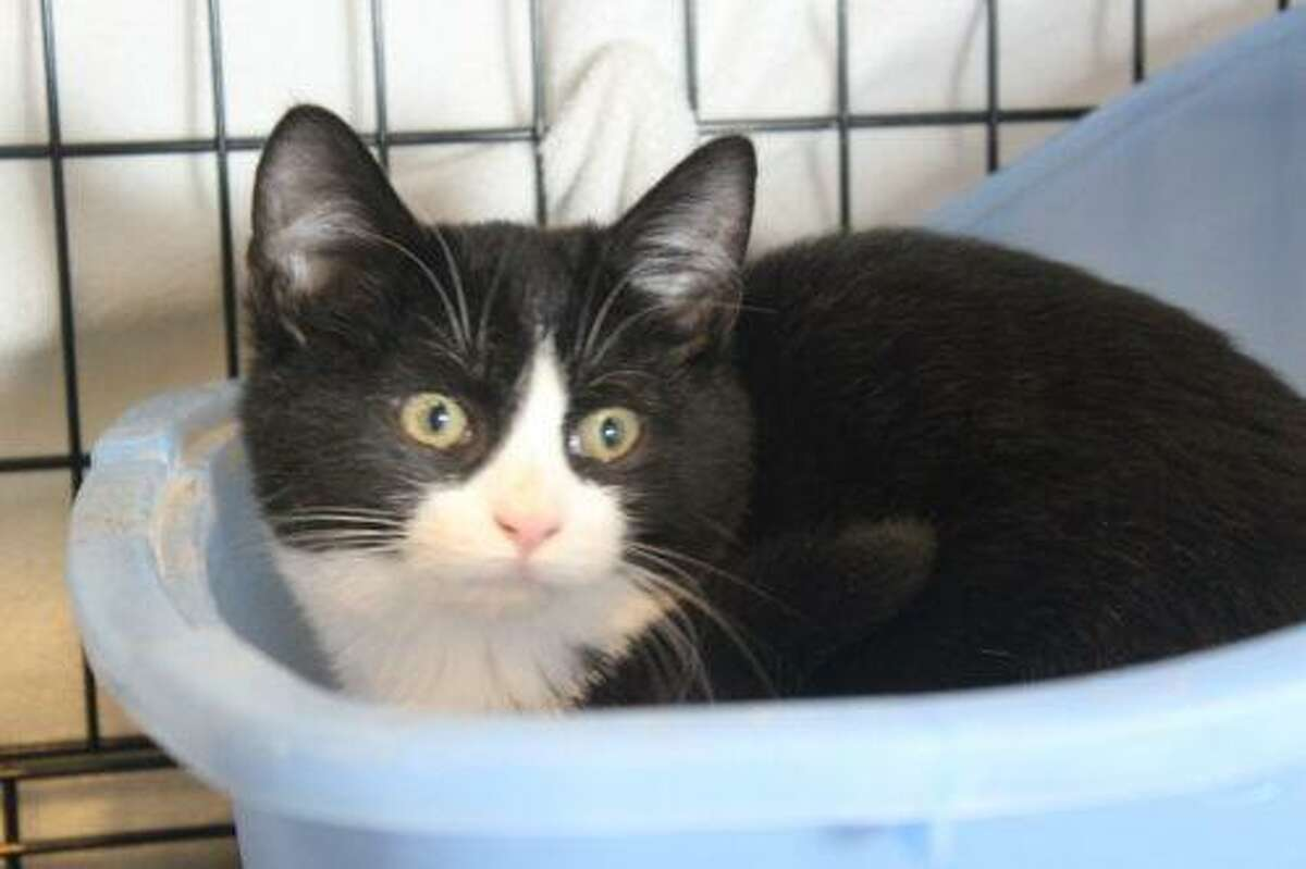 Nora, a black and white, and Tootsie, a tiger stripe tabby, are bonded, sibling kittens who would make a wonderful addition to a person or family looking to adopt a pair. Nora is shy but loves to be petted. Tootsie loves to be held, petted and is very playful. Nora is more relaxed around people when Tootsie is by her side. Patience and time to adjust will help these two become part of the family in no time. Please consider adopting these precious kittens. Visit www.CatTalesCT.org/cats/Nora, call 860-344-9043, or email: info@CatTalesCT.org. Watch our TV commercial: https://youtu.be/Y1MECIS4mIc