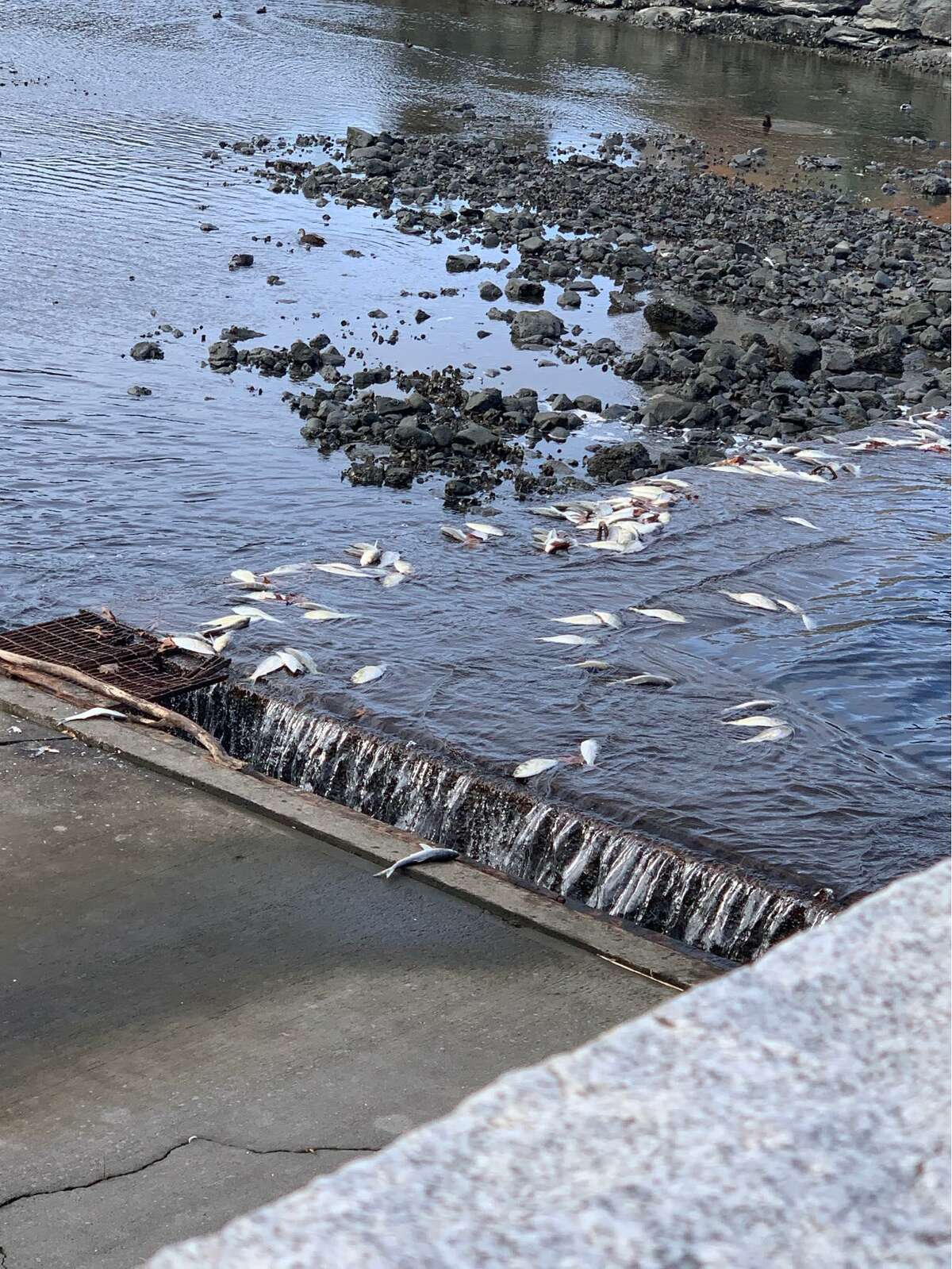 A Darien resident recently shared this photo of dead fish, which specialists identify as bunker, near the Ring's End Bridge.