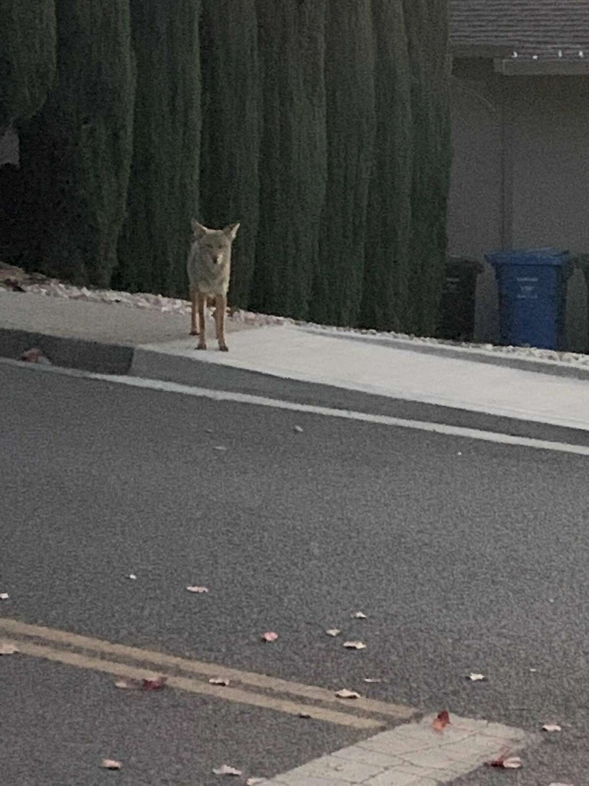 About 15 minutes after the Campolindo High attack on Dec. 4, a woman in the area said she was stalked by a coyote as she walked near the school.
