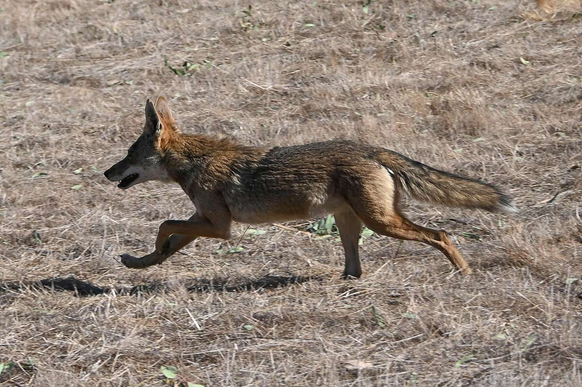 A coyote runs out of a burning hillside into a residential area in Chino (San Bernardino County) in October. A different coyote, in Moraga, has been linked to two attacks on people in recent months.