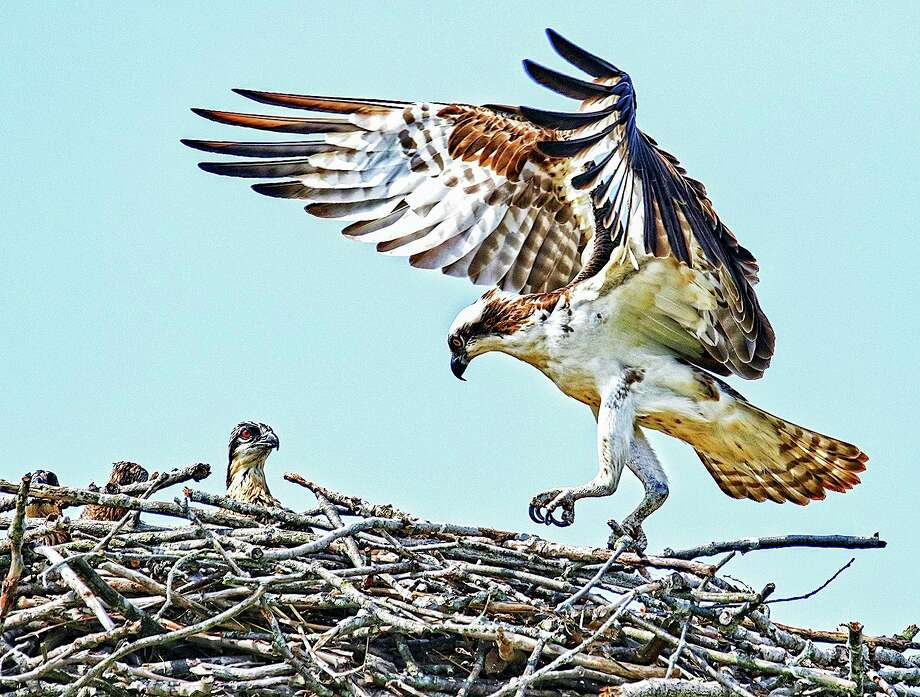 An adult osprey and young are pictured at a nest in June 2020. (Courtesy photo/Mike Grosso) / OUTLAW PHOTO