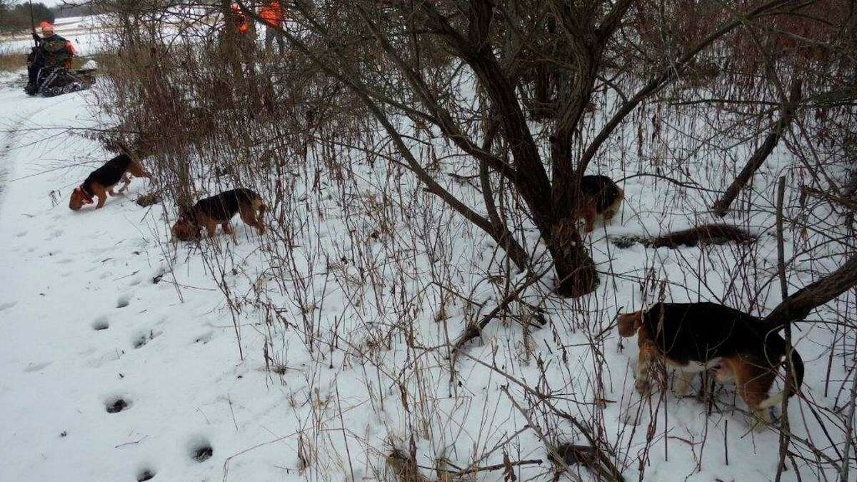 Beagles work together to sort out evasive cottontail scent and tracks. (Tom Lounsbury/Hearst Michigan)