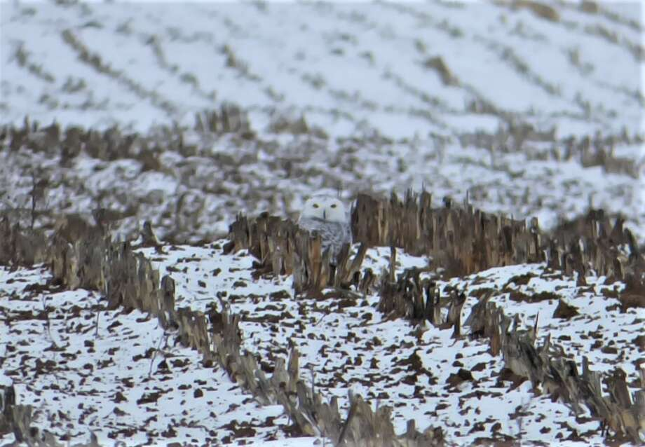 A juvenile snowy owl is perfectly camouflaged against a snow-covered field in Manistee Township. The owl is one of over 10 true owls known to resident in the state. Photo: Scott Fraley/News Advocate