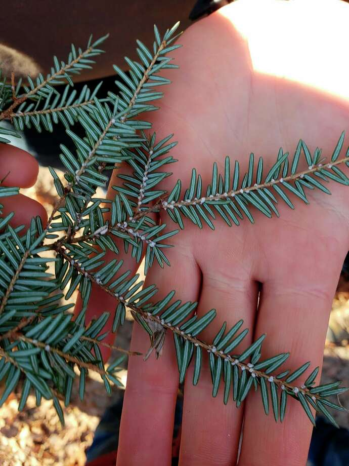 Hemlock woolly adelgid is an invasive species creeping northward in Michigan. (Courtesy Photo)