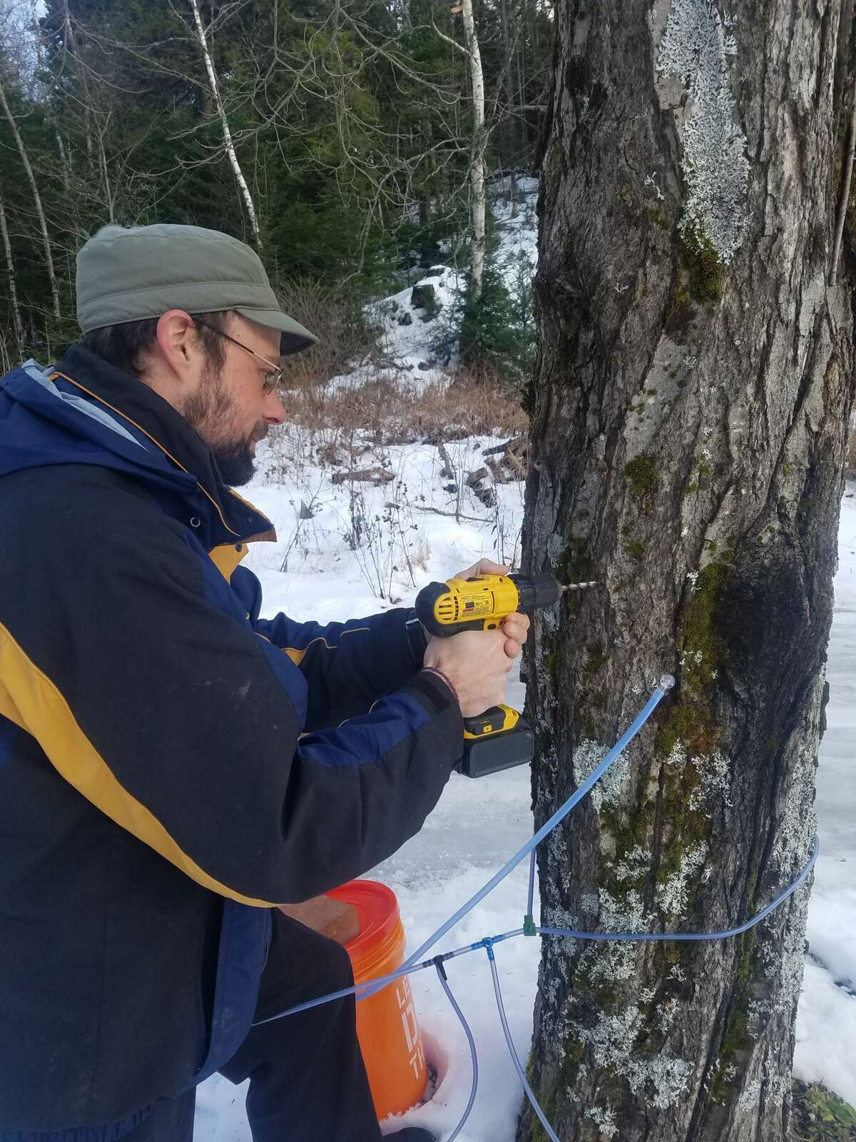 Tapping sugar maple trees to collect sap for making maple syrup.