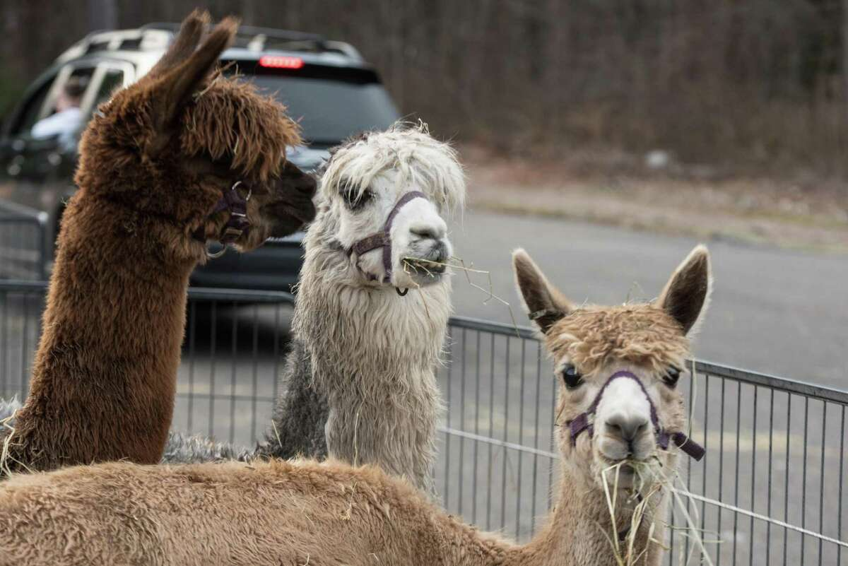 Alpacas watch as cars drive by at the living nativity at WEPCO on Sunday.