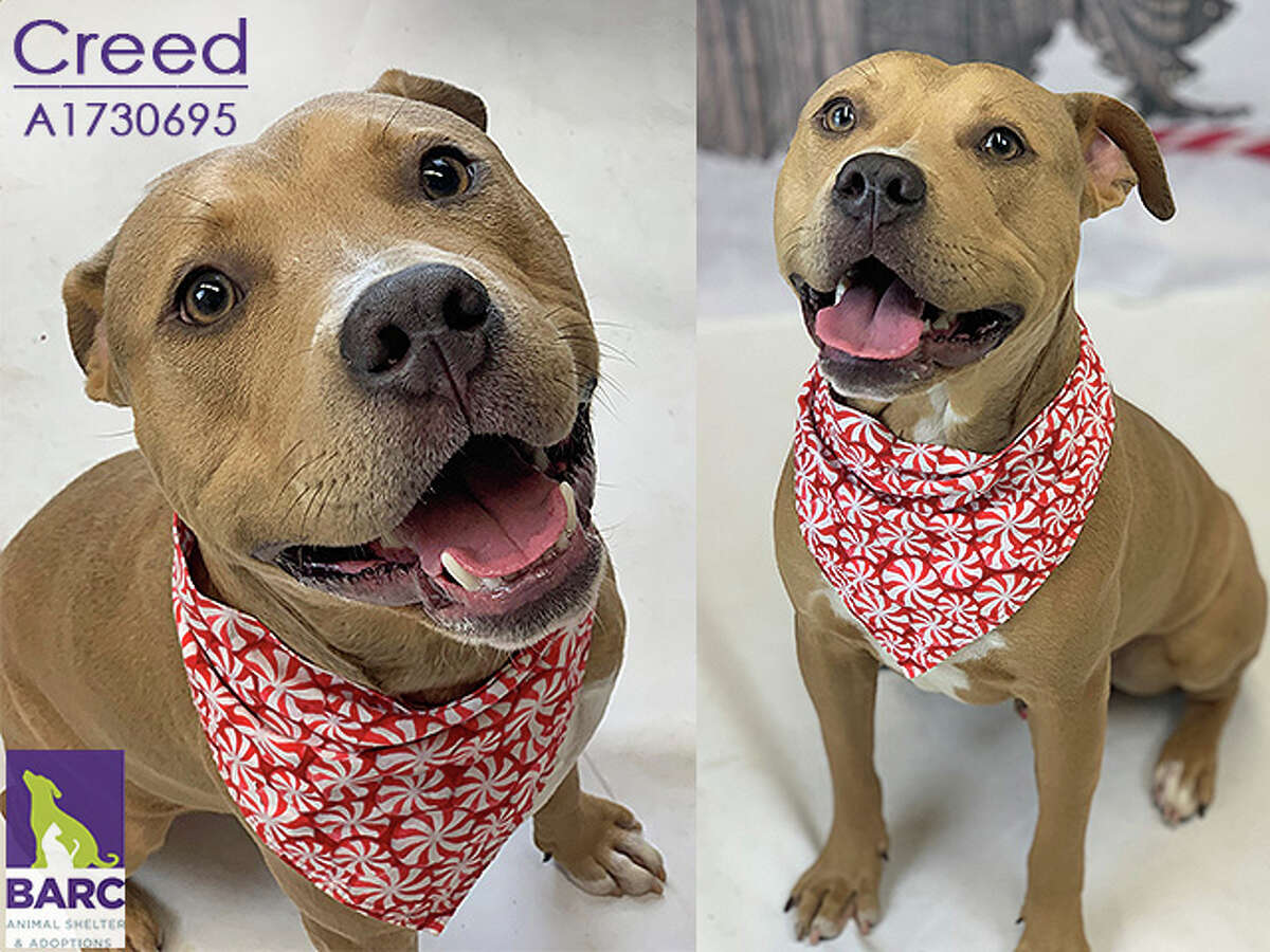 Available for adoption from BARC Animal Shelter, located at 3300 Carr Street Houston, TX.