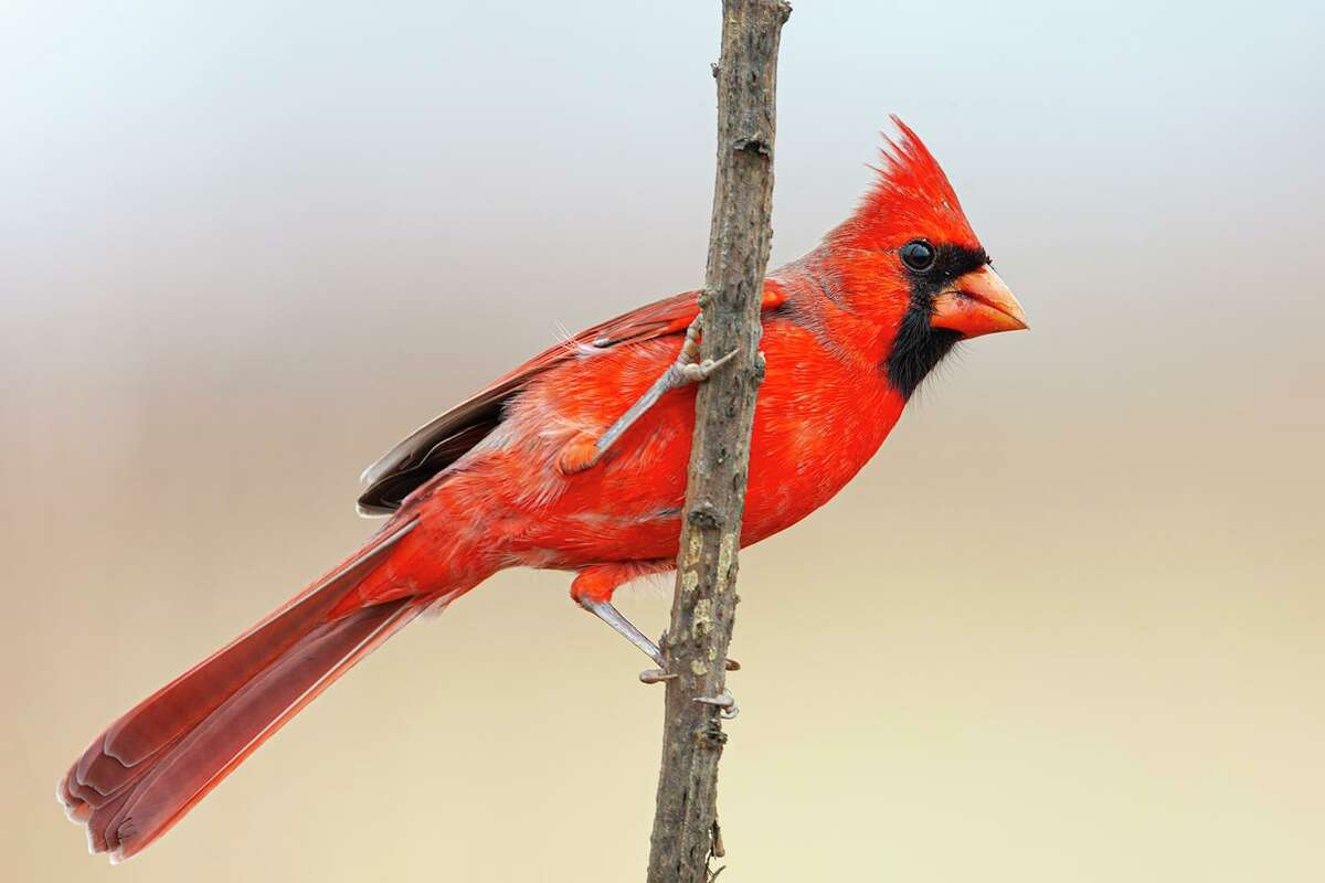 A bright red cardinal on a winter day in Texas is a boost to the holiday spirit. Photo Credit: Kathy Adams Clark. Restricted use.