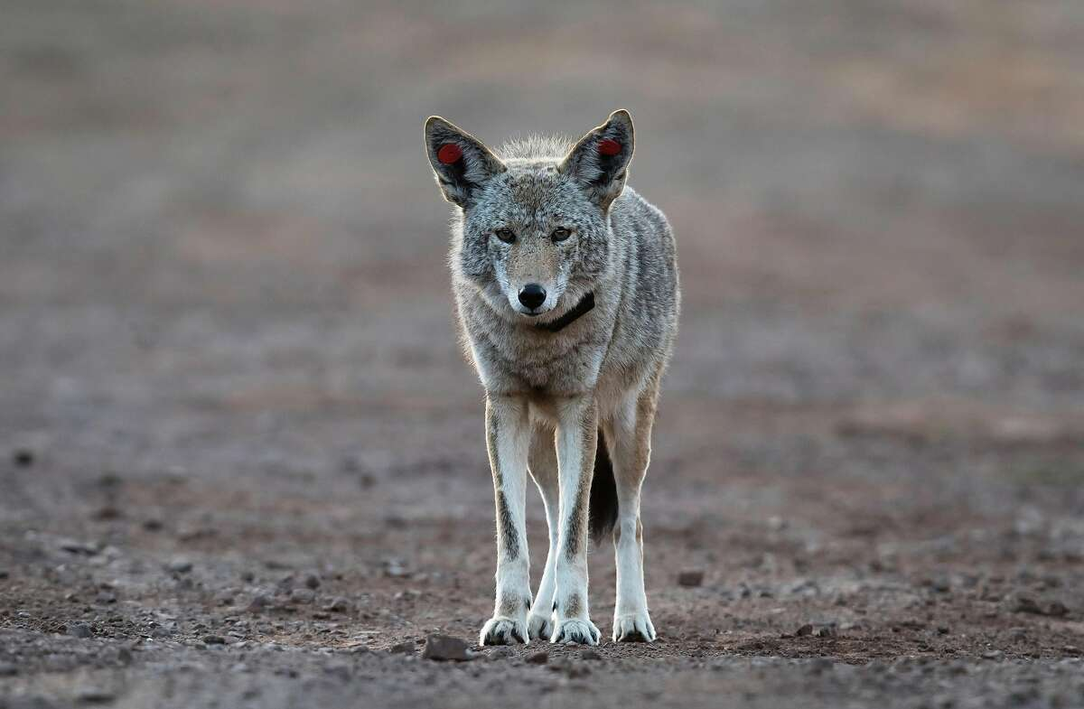 A female coyote that has been tagged and collared walks through a vehicle pullout where wildlife biologists have been conducting a study of coyotes that populate the area of the Marin Headlands in the Golden Gate National Recreation Area near Sausalito, Calif., on Tuesday, November 24, 2020. Seven local coyotes have been captured, tagged and collared so biologists can learn from their activity in the open space of the headlands.