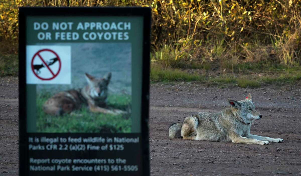 A female coyote that has been tagged and collared sits in a vehicle pullout where wildlife biologists have been conducting a study of coyotes that populate the area of the Marin Headlands in the Golden Gate National Recreation Area near Sausalito, Calif., on Tuesday, November 24, 2020. Seven local coyotes have been captured, tagged and collared so biologists can learn from their activity in the open space of the headlands.