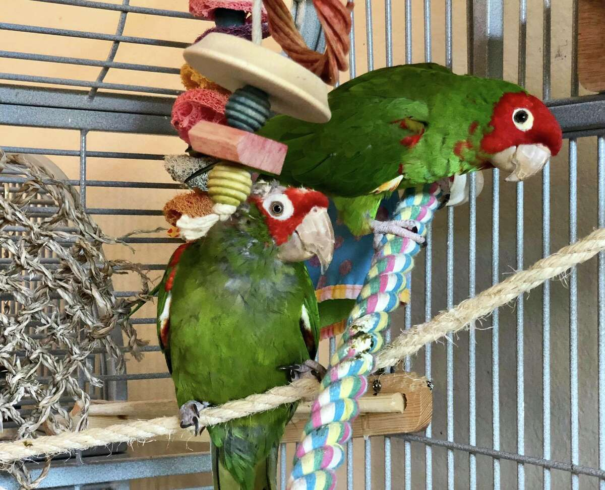 April and Lyon, two fostered parrots from the wild flock, perch in their cage at Sarah Lemarié's San Mateo home.