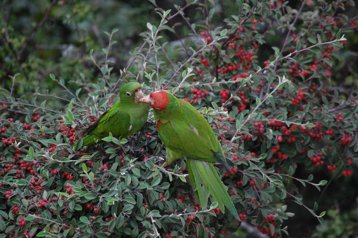 A cherry-headed conure feeds its baby.