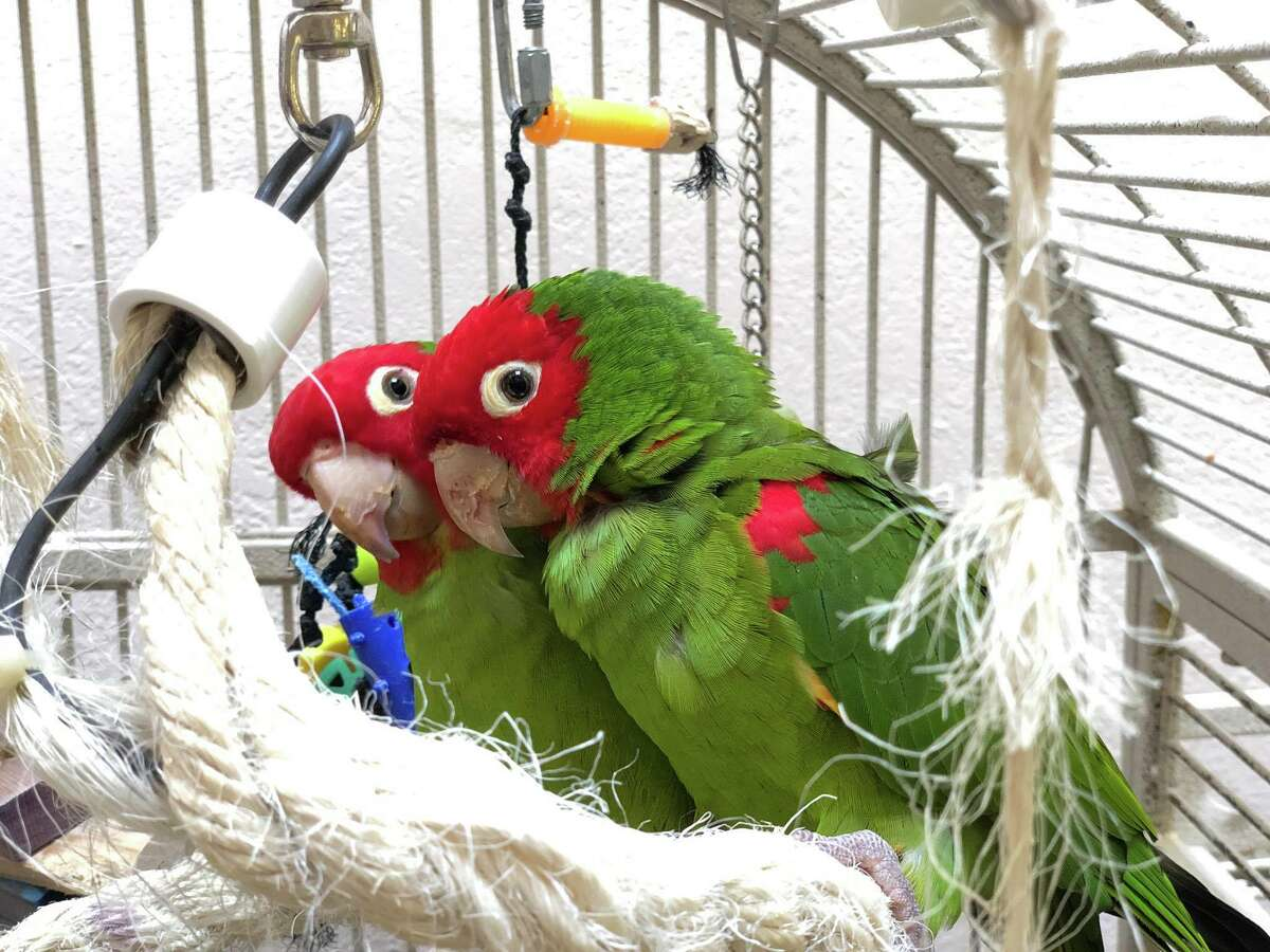 Mooshi and Julian are two cherry-headed conures fostered by Sarah Lemarié, a volunteer for Mickaboo, a bird rescue and nonprofit organization.