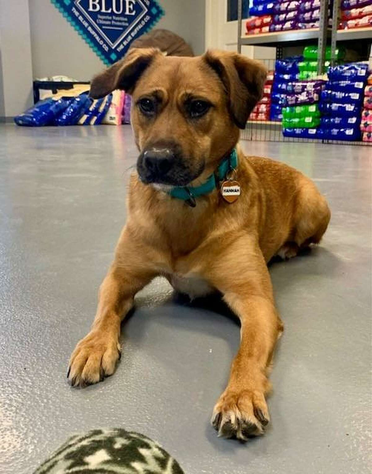 Hannah needs a home with a fenced in yard, a quiet environment, and a dog companion. She is at the ROAR Donofrio Animal Shelter in Ridgefield, and can be met via an appointment by calling the shelter at (203) 438-0158.