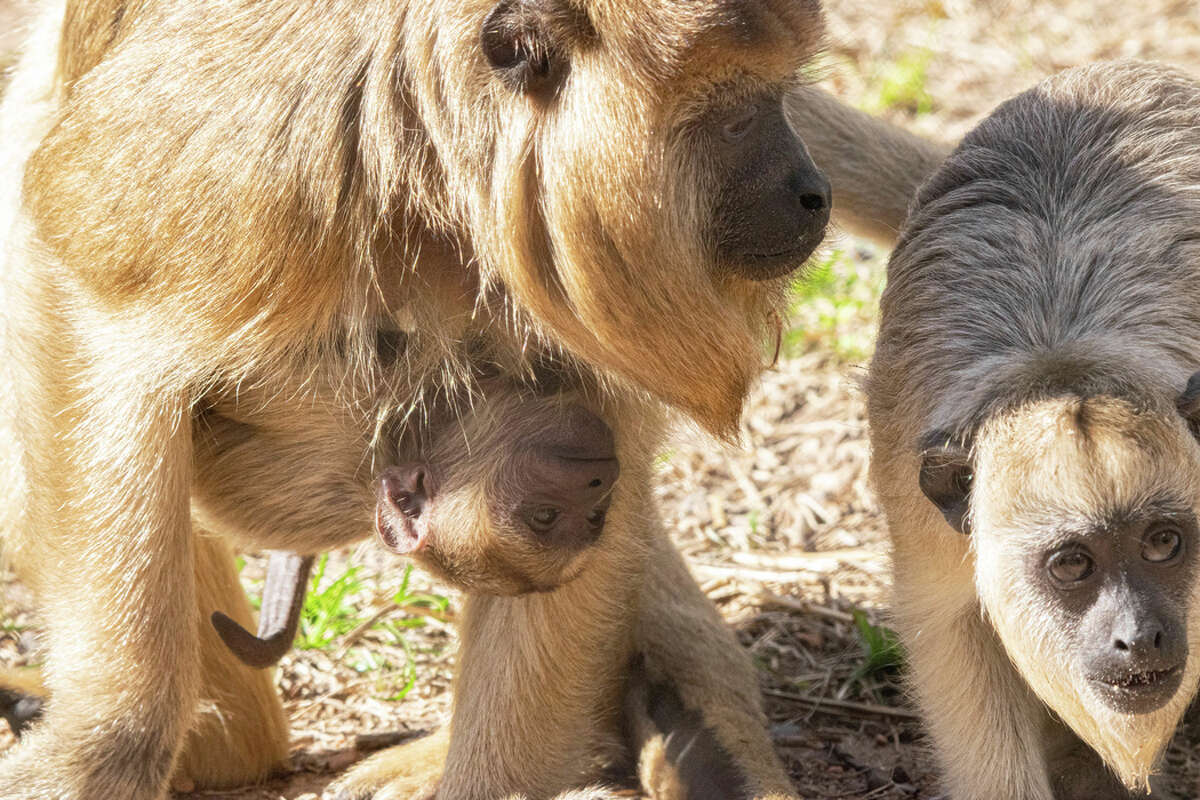 Houston Zoo on Nov. 17 , 2020 welcomed a baby howler monkey named Marlie.