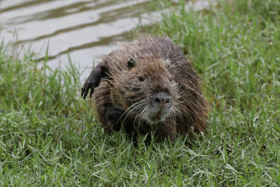 """A coypu exits a pond at W.L.""""Bill"""" Bane Park Monday, July 6, 2020, in Houston. The rodent is also known as a Nutria. Photo: Steve Gonzales, Houston Chronicle / Staff Photographer / © 2020 Houston Chronicle"""