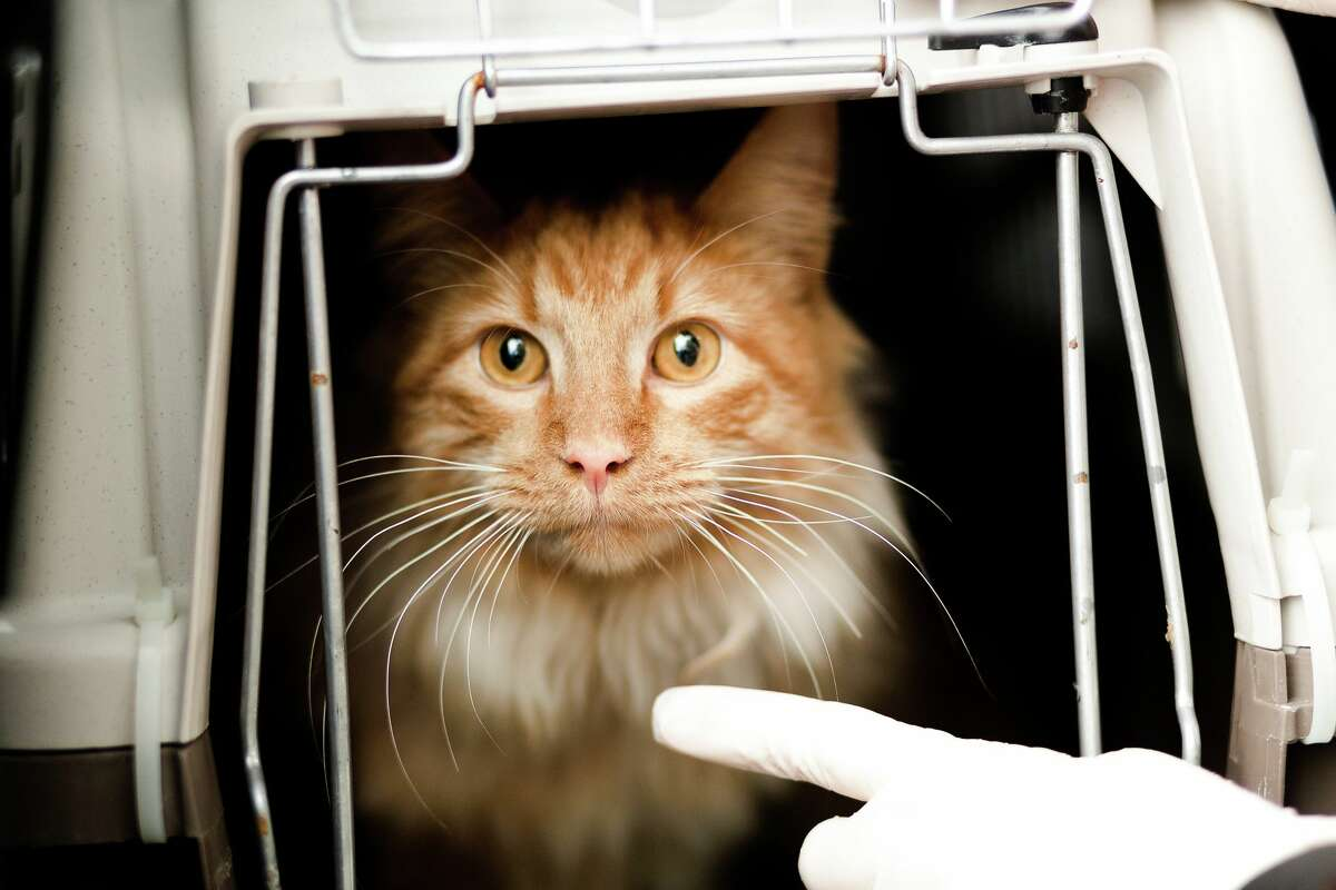 Thomas O'Malley, a 1-year-old orange tabby cat, was recently adopted by Fields as part of a new program from the Houston SPCA and BakerRipley.