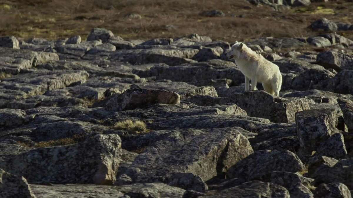 An arctic wolf in North Canada. The Bureau of Land Management has put out the environmental assessment of Kaktovik Inupiat Corp.s application to conduct seismic exploration in the Arctic National Wildlife Refuges coastal plain.