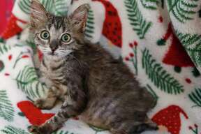 Xena (A564271) is a 10-week-old, female, brown tabby Domestic Shorthair kitten available for adoption from Harris County Pets. Photographed Thursday, December 17, 2020, in Houston. Xena was found by a citizen, who took her in realizing that she was was very sick. She was brought in an given a diagnosis of XXX, and was near death. A foster was found, who nursed her back to health, when it was discovered that she had a spinal injury, which has left her back legs paralyzed. Harris County Pets is seeking a forever home for this sweet girl, who would be able to provide for her special needs.