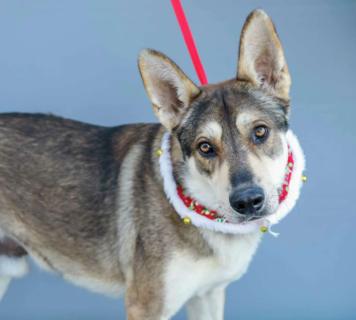 Bruce (A565111) is a 4-year-old, male, German Shepherd mix available for adoption from Harris County Pets. Bruce was adopted from Harris County Pets but returned as it appears he needs to be the only dog in the home. He is a sweetheart who loves men and women but growls at other dogs.