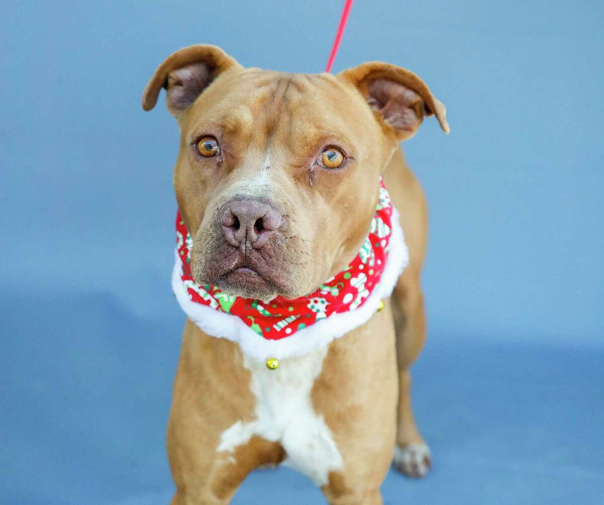 Cavanaugh (A566034) is a 2-year-old, male, American Pitbull mix available for adoption from Harris County Pets. Cavanaugh was found by a citizen after being dumped on the side of the road. The woman who found him spent the afternoon with him to get to know him before bringing him to the shelter. He likes other dogs, immediately leans into someone who shows interest in him, and even likes cats. He's very gentle, but wonders why he ended up on the side of the road.