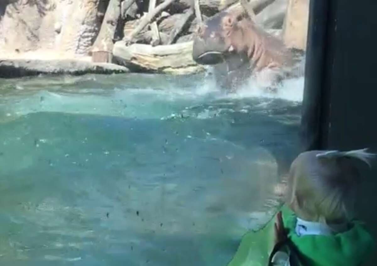 The San Antonio Zoo is making a splash after a video of their unofficial mascot Timothy the Hippo went viral for acting like a dolphin.