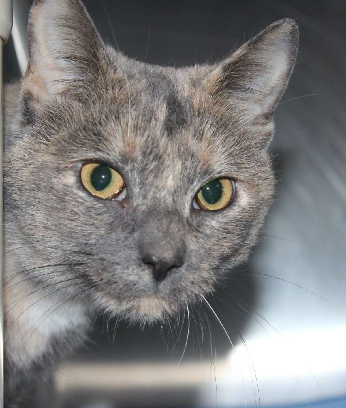 Scarlette is a 2-year-old dilute torti. She says,