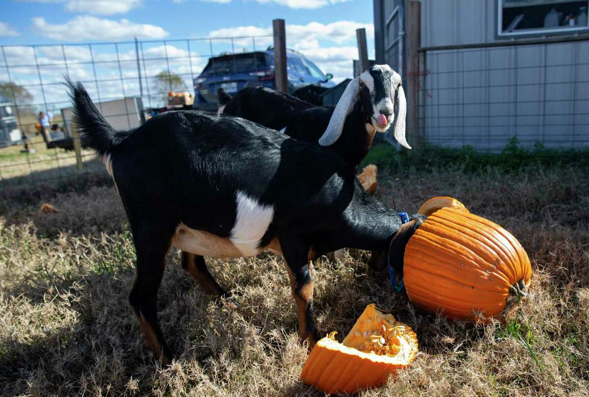 Stacey Roussel's goats are enjoying pumpkins from Beth Blute on the farm Thursday, Dec. 10, 2020, in Needville. Blute has been picking up pumpkins from people in west Houston since the day after Halloween and dropping them off at Roussel's All We Need Farm.