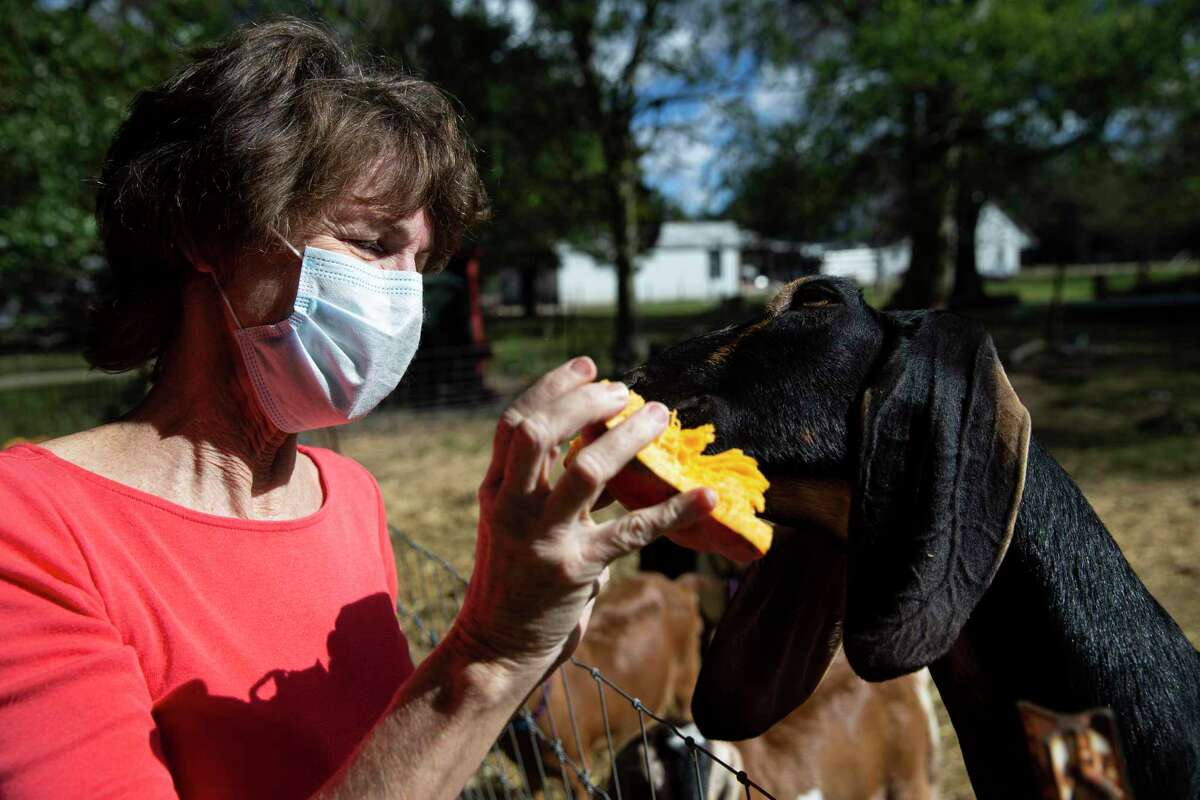 Beth Blute feed a goat some pumpkins she brought to the farm Thursday, Dec. 10, 2020, in Needville. Blute has been picking up pumpkins from people in west Houston since the day after Halloween and dropping them off at her friend Stacey Roussel's All We Need Farm.